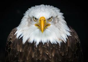 This is a bald eagle.